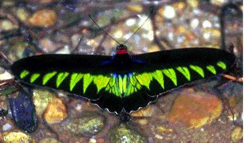Papilionidae-Butterfly